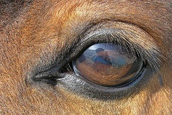 Close up of a horse eye, with is dark brown with lashes on the top eyelid