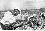 Armenians picking cotton in the 1930s.