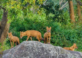 Non-invasive monitoring of dhole is crucial for knowledge about its conservation status. More research is needed in chinese wilderness.