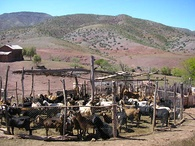 Goats inside of a pen in Norte Chico, Chile. Overgrazing of drylands by poorly managed traditional herding is one of the primary causes of desertification.