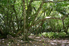 A Hernandia-dominated forest on Diego Garcia