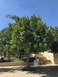Tree, memorial honoring Irena Sendler (Polish nurse who saved 2,500 Jews when it was forbidden during the Holocaust) in Jerusalem, Israel