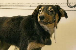 One of the dogs used in Pavlov's experiment with a surgically implanted cannula to measure salivation, preserved in the Pavlov Museum in Ryazan, Russia