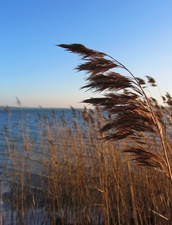 Common reed (Phragmites australis) an invasive species in degraded marshes in the northeastern United States.