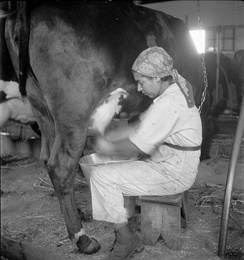 A cow being milked in British Palestine, 1936
