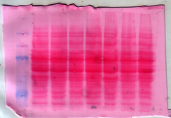 A nitrocellulose membrane stained with Ponceau S dye for protein detection during western blotting