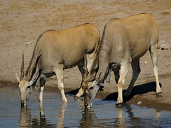 Two common eland drinking at the Chudop waterhole at Etosha National Park in Namibia