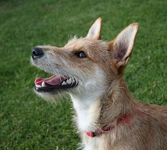 Mixed-breed dogs such as this terrier have been found to run faster and live longer than their pure-bred parents (see Heterosis).