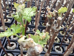 Propagating plants from cuttings, such as grape vines, is an ancient form of cloning
