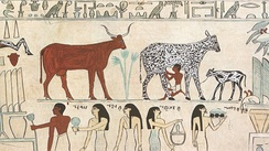 Domesticated cow being milked in Ancient Egypt