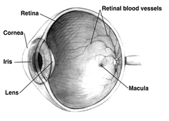 Cross-sectional view, showing the position of the human lens