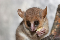 A mouse lemur holds a cut piece of fruit in its hands and eats