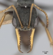 Large compound eyes, sensitive antennae, and powerful jaws (mandibles) of jack jumper ant