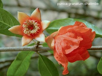 In a pomegranate flower, Punica granatum, the petals, except for their fused bases, soon fall. The hypanthium with sepal lobes and stamens still attached develops to form the outer layer of the fruit.
