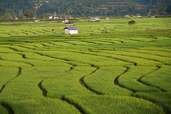 Paddy field in Tambunan.