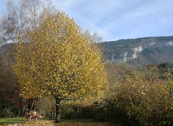A 15-year-old lime-tree, Haute-Savoie, France