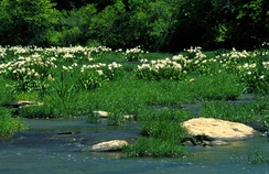 A stand of Cahaba lilies (Hymenocallis coronaria) in the Cahaba River, within the Cahaba River National Wildlife Refuge.