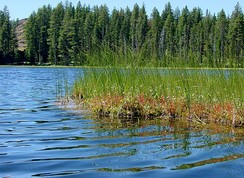 Sphagnum moss and sedges can produce floating bog mats along the shores of small lakes. This bog in Duck Lake, Oregon also supports a carnivorous plant, sundew.