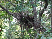 Gorilla night nest constructed in a tree