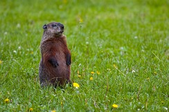 Motionless individual, alert to danger, will whistle when alarmed to warn other groundhogs