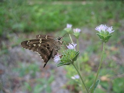 Long-tailed skipper, Urbanus proteus