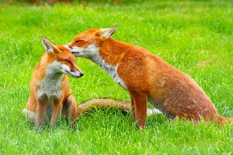 A pair of European red foxes.