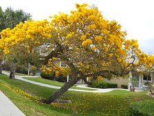 Tabebuia off Savanna Road in Jensen Beach. April 2010. Typical of such trees blooming throughout Martin county in the spring