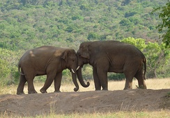 Indian elephants in the Coimbatore Forests, Tamil Nadu
