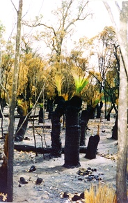 Scrubland with Xanthorrhoea following bushfire.