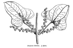 Male Dioscorea batatas (D. polystachya) in Hooker's A General System of Botany 1873