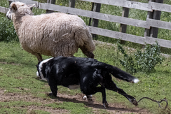 Black and white Border Collie, herding a sheep.