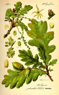 Buds, leaves, flowers and fruit of oak (Quercus robur)