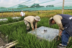 Work by the International Center for Tropical Agriculture to measure the greenhouse gas emissions of rice production.