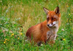 The red fox is the main quarry of European and American fox hunts.