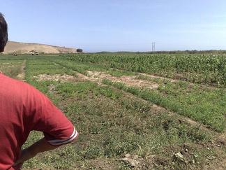 Looking over the shoulder of a Peruvian farmer in the Huarmey delta at waterlogged and salinised irrigated land with a poor crop stand.  This illustrates an environmental impact of upstream irrigation developments causing an increased flow of groundwater to this lower-lying area, leading to adverse conditions.