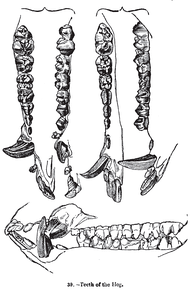Dentition, as illustrated by Charles Knight