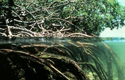 Aerating roots of a mangrove