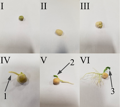 -Step 1- Water imbibition, the uptake of water, results in rupture of seed coat.  -Step 2-The imbibition of the seed coat results in emergence of the radicle (1) and the plumule(2), the cotyledons get unfolded(3).  -Step 3-This marks the final step in the germination of the seed  where the cotyledons are expanded which are the true leaves/peasNote-  Temperature must be kept at an optimum level.