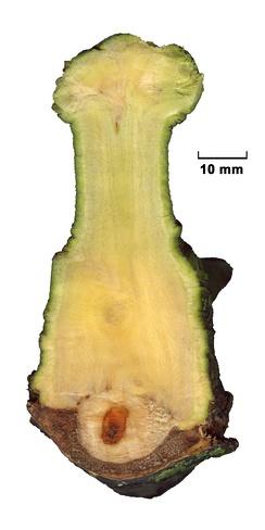 Омела белая (сверху). Вид в поперечном разрезе на ветке гибридного чёрного тополя (Populus×canadensis).