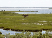 Wild horses on Assateague Island National Seashore