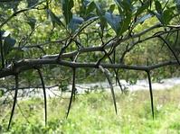Колючка у боярышника (Crataegus crus galli)