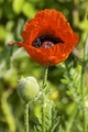 Persian poppy (Papaver bracteatum)