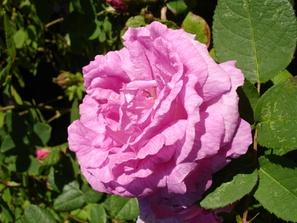 Rosa 'Julie de Mersent'— моховая роза, сорт создан во Франции, в 1854 году