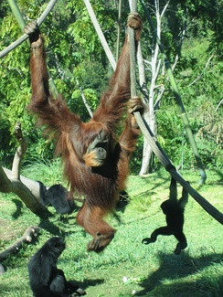 Like those of the orangutan, the shoulder joints of hominoids are adapted to brachiation, or movement by swinging in tree branches.
