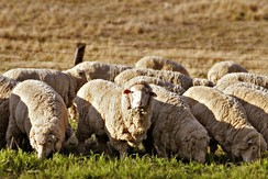Sheep grazing in rural Australia. Early British settlers introduced Western stock and crops