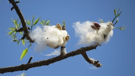 Cotton in a tree