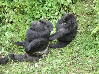 "Male ""silverback"" gorillas are usually the alpha animal and may receive preferential treatment such as being groomed by other group members"