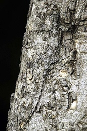 photo of a Draco dussumieri on a tree trunk, very hard to see