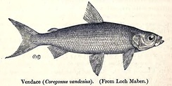 The vendace (Coregonus vandesius) is England's rarest species of fish, and is found only in the Lake District.