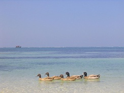 Domestic ducks on a beach at Kavaratti, Lakshadweep
